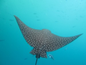We saw many eagle rays gliding through the water sometimes solitary and sometimes in packs of 3 or 4.  Many had wingspans up to 6 feet across.