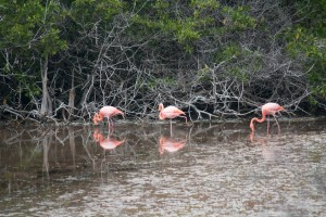 Your standard flamingo, pink and all.  Many got wiped out during an unusually strong El Nino about 20 years back and introduced cats and rats are eating their eggs.  Now they number only in the 100's on the islands.