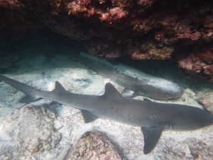 We saw white- and black-tipped sharks up to 4' long and some Galapagos sharks that were up to 6'.  We even saw some smaller hammerheads.  Not so scary when they're napping.
