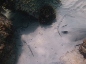 They hang out on the bottom and stir up stuff in the sand to eat.  They look like the vacuum cleaners of the ocean floor.