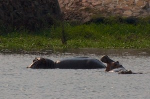 View the hippos.  View them!